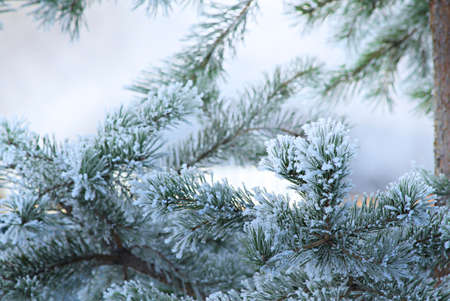 Pine tree in winter closeup. Christmas theme.