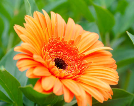 A beautiful orange gerbera against the background of green plants