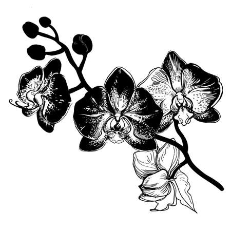 Hand drawn sketch with branch of flowers Orchid. Black and white manual graphic isolated on white background. Element for design printing, wrapping paper, greeting card, invitation card for wedding.