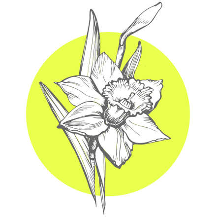 Isolated Daffodil illustration element on yellow round form background. Narcissus flower. Floral botanical flower. Hand Drawn Floral Elements for Design, Can be used as textile print, postcard, cover. Çizim