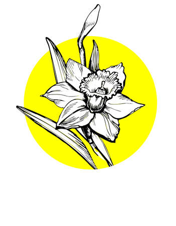 Floral greeting card with Daffodil flower isolated on white and place for text. Conceptual botanical design for celebration, invitation, decor poster, banner, web site, postcard. Çizim