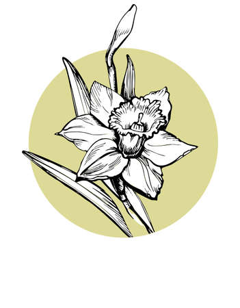Vector isolated element for design with hand drawn flower Daffodil, Narcissus on circle form background. Can be used as floral design of textile print, postcard, greeting card, cover, botanical page. Çizim