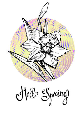Floral greeting card with Hand Drawn flower Daffodil, Narcissus on gradient round form background isolated on white and lettering calligraphic phrase Hello Spring. Vector manual llustration. Illustration