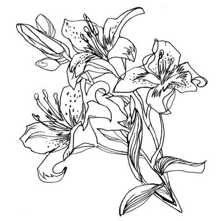 Lily flowers, outline hand drawn bouquet isolated on white. Black and white freehand floral element for greeting card, invitation of wedding, birthday, Valentines Day, mothers day, other holidays. Banque d'images