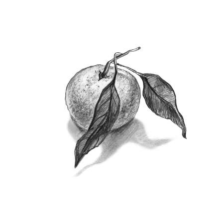 Pencil drawing of orange, mandarin with leaves isolated on a white background. Monochrome hand drawn element for food design, created package, packaging, wrapping paper, menu.quality photo