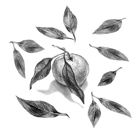 Set of realistic pencil sketch drawing of orange, mandarin with leaves, light and shadow isolated on a white . Monochrome hand drawn elements for food design, created textile, packaging, poster.