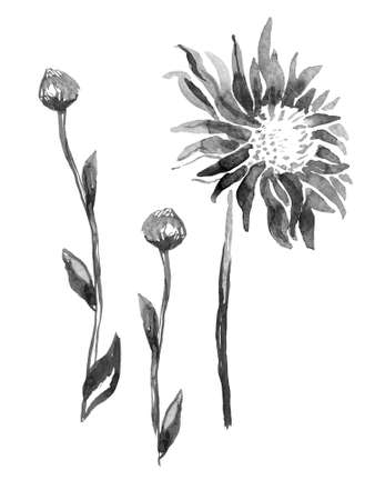 Ink water halftone freehand sketch. Inflorescence and stem of Chrysanthemum Flower isolated on white. Monochrome hand drawn element for floral design, created hand made greeting card, poster, package Banque d'images