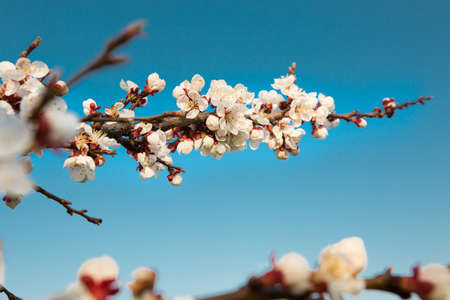 apricot tree: Flowering apricot tree on a sky background