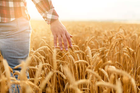 Farmer touching his crop with hand in a golden wheat field. Harvesting, organic farming concept Archivio Fotografico