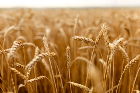 Wheat ears at the farm, shallow depth of field.