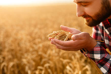 Smiling man holding ears of wheat near his face and nose on a background a wheat field. Happy agronomist farmer sniffs his crop caring about the rich harvest on sunset