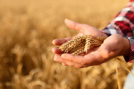 Man holding ears of wheat on a background a wheat field. Agronomist farmer cares about his crop for the rich harvest on sunset Stock Photo