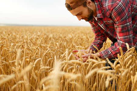 Smiling bearded man holding ears of wheat on a background a wheat field. Happy agronomist farmer cares about his crop for the rich harvest on sunset Stock Photo
