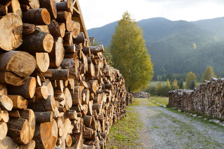 combustible: Wooden logs of pine woods in the forest, stacked in a pile. Freshly chopped tree logs stacked up on top of each other in a pile. Stocking of firewood for the winter.
