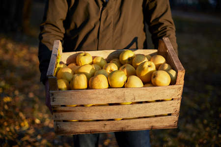 Man with wooden box of yellow ripe golden apples in the orchard farm. Grower harvesting in the garden is holding organic apple crate in his hands. Harvest Concept. Isolated view. Stock Photo