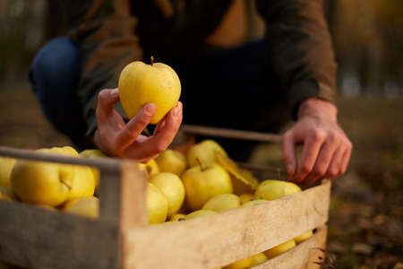 Man puts yellow ripe golden apple to a wooden box of yellow at the orchard farm. Grower harvesting in the garden and holding organic apple in his hand. Harvest autumn concept. Isolated view. Male shows a tasty fruit.