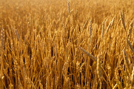 Wheat ears at the farm field, shallow depth of field. Golden ripe wheat field. Rich harvest and agricultural theme concept.