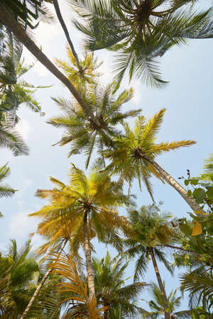 Coconut palm trees perspective view on exotical tropical island