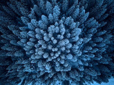 Aerial view from above of winter forest covered in snow. Pine tree and spruce forest top view. Cold snowy wilderness drone landscape photo. Moody blue color and tone. Quadcopter flies above woods 版權商用圖片