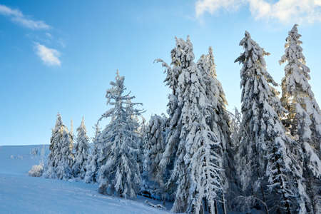 Winter rime and snow covered fir trees branches on mountainside on blue sky background on sunrise. Pine trees after heavy snowfall in the mountains on sunset. Backcountry ski resort frosty landscape. Stock Photo
