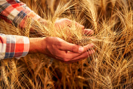 Farmer holding bunch of ripe cultivated wheat ears in hands. Golden field, sunset. Agronomist in flannel shirt examine cereal crop before harvesting on sunrise. Organic farming concept. Agriculture.