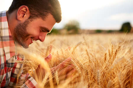 Smiling farmer holding and smelling a bunch of ripe cultivated wheat ears in hands. Agronomist examining cereal crop before harvesting on sunrise. Golden field on sunset. Organic farming concept. Banque d'images