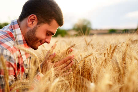 Smiling farmer holding and smelling a bunch of ripe cultivated wheat ears in hands. Agronomist examining cereal crop before harvesting on sunrise. Golden field on sunset. Organic farming concept. Фото со стока
