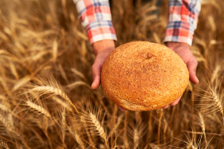 Hands of farmer holding bran bread freshly baked of raw healthy flour with golden wheat ears on background. Agronomist holding a loaf of bread in rural field. Rich harvest, food, agriculture theme. 版權商用圖片