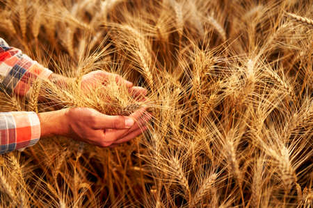 Farmer holding bunch of ripe cultivated wheat ears in hands. Agronomist in flannel shirt examine cereal crop before harvesting on sunrise. Golden field on sunset. Organic farming concept. Agriculture.