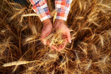 Farmer holding a bunch of ripe cultivated wheat ears in hands. Agronomist in flannel shirt examine cereal crop before harvesting on sunrise. Golden field on sunset. Organic farming. Top view. Фото со стока
