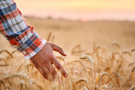 Farmer touching ripe wheat ears with hand walking in a cereal golden field on sunset. Agronomist in flannel shirt examining crop before harvesting on sunrise in the dusk. Organic farming concept.