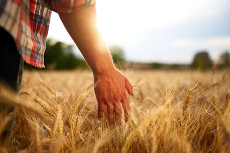 Farmer touching ripe wheat ears with hand walking in a cereal golden field on sunset. Agronomist in flannel shirt examining crop before harvesting on sunrise. Sun flares. Organic farming concept.