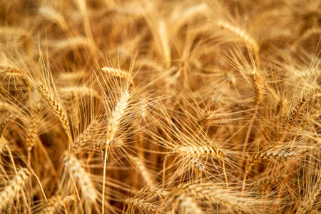 Golden ripe wheat ears at the farm field ready for harvesting. Rich wheat crop harvest. Agriculture and agronomy theme. Shallow depth of field. Фото со стока