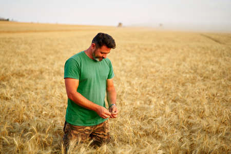 Agronomist examining cereal crop before harvesting sitting in golden field. Smiling farmer holding a bunch of ripe cultivated wheat ears in hands. Rancher at work. Organic farming concept.
