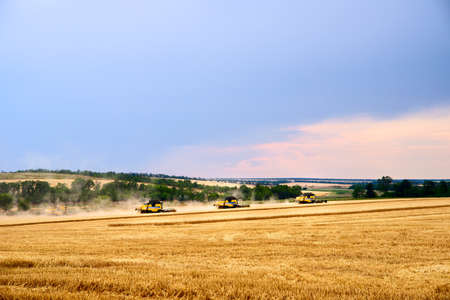 Combine harvesters working in wheat field with cloudy moody sky. Harvesting machine driver cutting crop in a farmland. Agriculture theme, harvesting season.