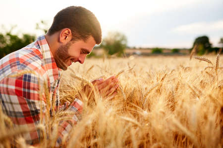Smiling farmer holding and smelling a bunch of ripe cultivated wheat ears in hands. Agronomist examining cereal crop before harvesting on sunrise. Golden field on sunset. Organic farming concept. 版權商用圖片