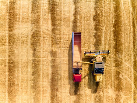 Aerial drone top view from above: overloading grain from combine harvesters into grain truck in field. Harvester unloder pouring wheat into box body. Farmers at work. Agriculture harvesting season.