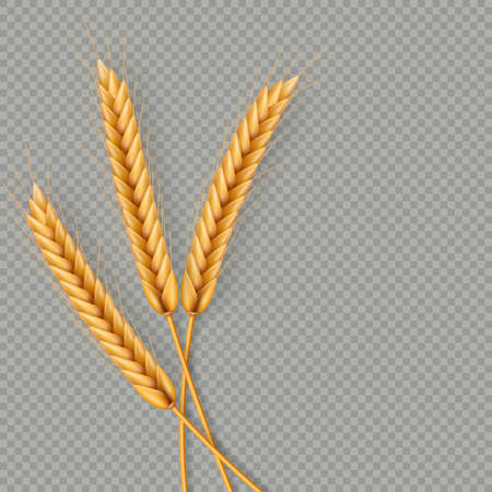 Bunch of wheat ears, dried whole grains realistic illustration frame isolated on transparent background. Bakery object template. Wheat ears wreath.