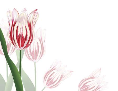 白とピンクのチューリップが、白い背景で隔離のイラスト 写真素材