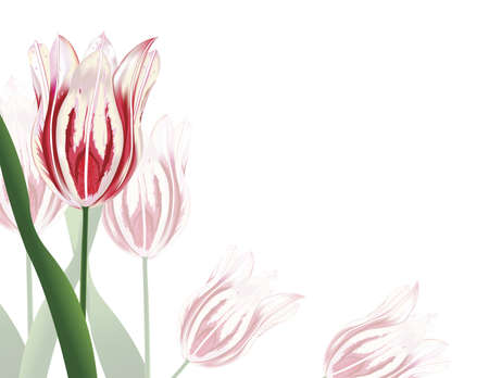 illustration of white and pink tulips isolated on a white background