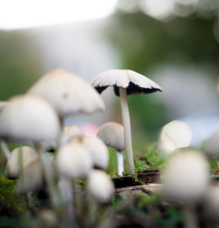 Colony group of white mushrooms growing in the forest fresh poisonous