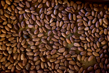 Roasted cocoa beans for making chocolate from scratch bean to bar Stock Photo