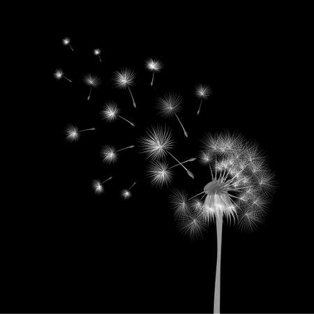 flower head: White dandelion on black background. Flying spores. Concept of wishing, tenderness and summer time.