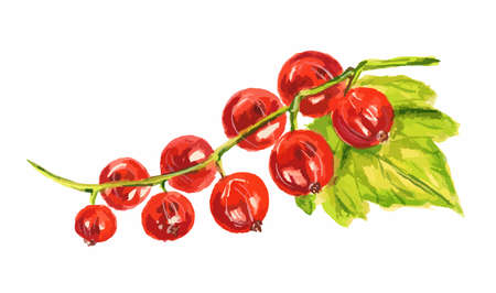 red currant: Watercolor red currant on white background. Fresh and sour berry for dessert or botanical art. Illustration