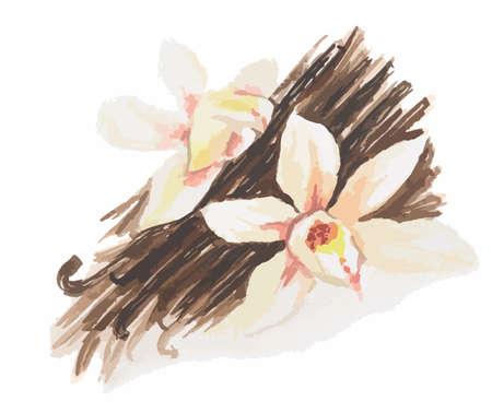 Aquarell Vanilleblume. Isoliert Gewürz auf weißem Hintergrund. Würze für Mahlzeit oder Dessert.