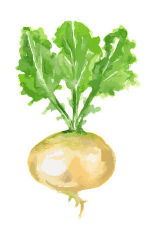 turnip: Isolated watercolor turnip. Fresh and healthy vegetable with vitamins. Farm vegetables.