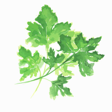 a sprig: Isolated watercolor parsley. Fresh and healthy herbs with vitamins. Farm herbs. Illustration