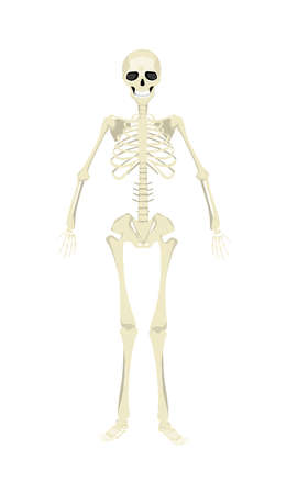 rib: Isolated human skeleton. All human bones as rib, skull and spine. Mockup for biology and sciency. Halloween scary image. Illustration