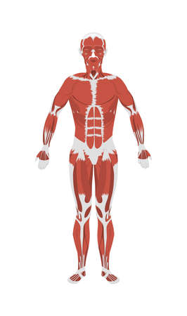 Human muscles anatomy. Male body muscles. All kinds of muscles like extensor, psoas and vastus.  イラスト・ベクター素材