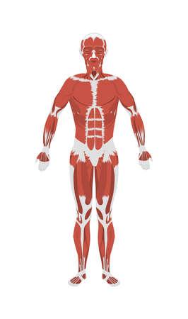 Menselijke spieren anatomie. Mannelijk lichaam spieren. Alle soorten van de spieren, zoals extensor, psoas en vastus.